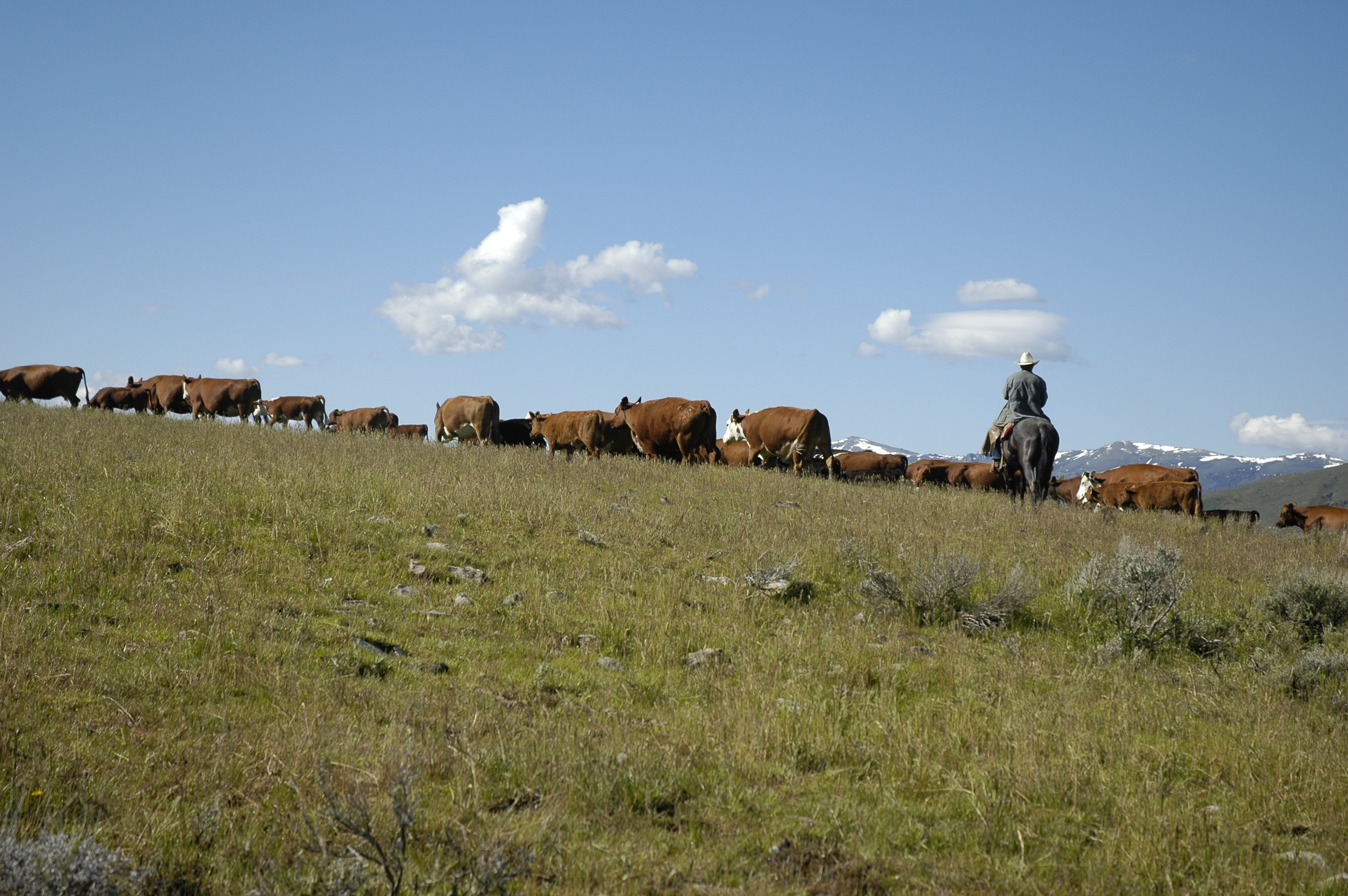 Herding cattle on mountain top.